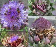 Faces of the artichoke (langkawi) Tags: purple lila artichoke cynaracardunculus artischocke artichaut bltenstand rhrenblten