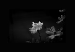 The one for me (salar hassani) Tags: leica blackandwhite bw flower me 50mm one for sony summicron the a7r