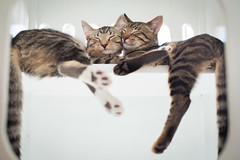 Purrfection (skitrussell) Tags: california oakland catcafe cattown bestofcats catmoments