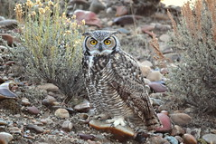 nature wildlife conservation raptor owl usfws greathornedowl seedskadeenwr nwrs