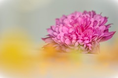 Love at first sight// Amor a primera vista (Mireia B. L.) Tags: chrysanthemum crisántemo pinkchrysanthemum crisántemorosa flower flor bokeh delicate romantic romántico delicado softcolours pastelcolours colorespastel macro