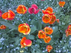 tulips and forget-me-knots 2015