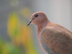 035 Indian Dove (Tarun Chopra) Tags: gurgaon canonsx60