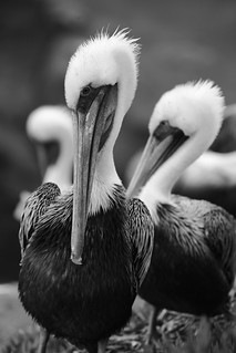 Black and white Pelicans