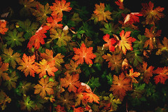 Mysteries of Autumn (Bunaro) Tags: autumn color fall texture colors leaves suomi finland leaf helsinki pattern vivid foliage mysteries yokfeed
