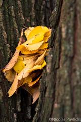 Bottleneck (Nicolas Pavlidis) Tags: autumn color tree nature yellow fujifilm leafs naturephotography xf35 naturephoto