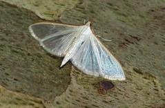 Almost transparant white moth (Elisa1880) Tags: italy white rome roma italia moth villa platanus iridescent italie lazio mot borghese witte transparant plataan latium costata luminiscent palpita kimballi stemorrhages