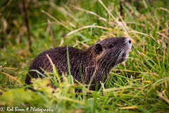 20151030_2805_Rat (Rob_Boon) Tags: animal germany rat dier duitsland hombroich museuminsel robboon