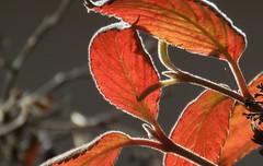 Autumn colours (III) (Elisa1880) Tags: autumn italy plant rome roma leaves italia colours herfst villa autunno italie borghese kleuren bladeren