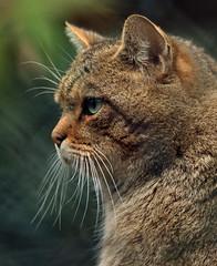 European wildcat Duisburg JN6A3779 (j.a.kok) Tags: duisburg wildekat felissilvestrissilvestris europesewildekat europeanwildcat