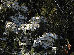 Olearia (Lesley A Butler) Tags: rocks australia victoria vegetation geology mountbuffalo