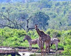 Hluhluwe-Imfolozi 020 (REBlue) Tags: southafrica kwazulunatalprovince hluhluweimfolozipark burchellszebra giraffe
