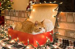Cat-in-the-box (tehchix0r) Tags: cat cats kitty kitties cute cutecat cutekitty christmas holiday tabby christmascat holidaycat