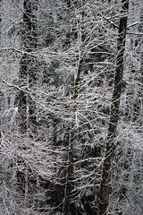 Solitudes / Osamljenosti (Gordana AM) Tags: wwwgordanaphotocom gordanamladenovic gordana photography photographer photo portcoquitlam bc britishcolumbia vancouver lowermainland canada lepiafgeo trees snow january wintery snowy scene trunks branches bare covered bw monochromatic vertical etching silence fresh snowfall slim lace