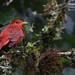 Summer Tanager (or cardinal!), Piranga rubra
