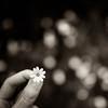 Un bokeh de fleurs (Zeeyolq Photography) Tags: hmbt bokeh bretagne fleurs flower little monochromes nature noiretblanc poetry small milizac france
