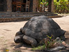 Seychellen-3LaDigue15_20161005-1228 (sabine.haecker) Tags: seychellen seychelles schildkröte turtle ladigue