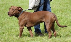 Bull Breed Mix at dog show (corinne_benavides) Tags: pet dog show breed purebred exposition showing outdoor pitbull pit bull bully bbm animal ausstellung hunde hundeausstellung reinrassig rassehund cac cacib nha
