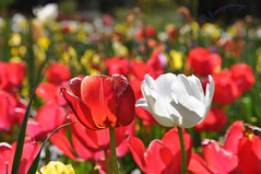Tulip_red and white.jpg (ImaginingsLifeImages) Tags: liliaceae tulip flowers liliales nature australia flora floraandfauna tulipa floriade canberra places act