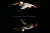 LakeChabot_123116_065 (kwongphotography) Tags: lakechabot castrovalley birds calif americanwhitepelican pelican wildlifephotography nature naturephotography wildlife birdsinflight unitedstates