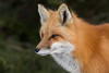 Red Fox Side Profile IMG_1676 (NicoleW0000) Tags: red fox wild wildlife photography outdoors animal carnivore