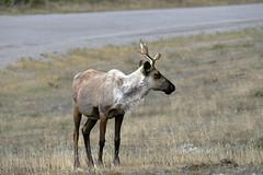 BARREN-GROUND CARIBOU  (Rangifer tarandus groenlandicus)  -   (Selected by GETTY IMAGES) (DESPITE STRAIGHT LINES) Tags: nikon d800 nikond800 nikkor200500mm nikon200500mm nikongp1 paulwilliams despitestraightlines flickr gettyimages getty gettyimagesesp despitestraightlinesatgettyimages nature mothernature landscape sunlight caribou wildcaribou runningcaribou wild wildanimals wildlife apairofcaribou hooves