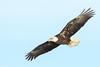 Bald Eagle - Dec-20-2016 (35-1) (JPatR) Tags: 2016 500mmf4 americanbaldeagle baldeagle canon7dmarkii december foxrivervalley illinois kanecounty bird eagle nature raptor wildlife winter