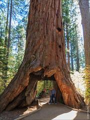 Pioneer Cabin Tree (eugene.photo) Tags: 2012 calaverasbigtreessp california october statepark usa giantsequoia sequoia