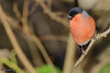 Bullfinch (parry101) Tags: parc slip nature reserve south wales southwales bullfinch bird birds wildlife bridgend animal tree outdoor