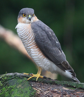 MALE  SPARROWHAWK....Garden....taken through glass.