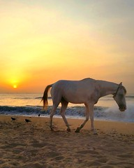 August horse (ossington) Tags: sunset madras whitehorse whimsical bayofbengal india southasian