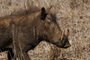 Warthog after mudbath (crafty1tutu (Ann)) Tags: travel holiday 2016 southafrica africa african animal warthog mud mudbath krugernationalpark wild inthewild free roamingfree crafty1tutu canon7dmkii ef100400mmf4556lisiiusm anncameron anaturecanvas naturethroughthelens