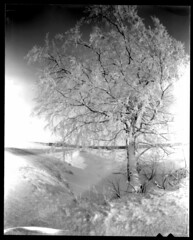 Birch tree by the road (Foide) Tags: pinhole pinholetree birch 4x5 homemade snow winter sheet film sheetfilm