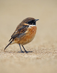 Stonechat (oddie25) Tags: canon 1dx 600mmf4ii stonechat chat beach breandowns brean winter sand bird wildlife nature nationaltrust