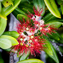 Rangitoto Island (rvnix) Tags: newzealand nz auckland travel rangitoto volcano tourism island rangitotoisland nature christmas flower red