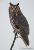 Long-Eared Owl (Jowl Bakker) Tags: longeared minnesota bird owl