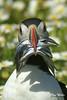 Puffin with Sand eels (wells117) Tags: a100 fratercula sonyalphaa100 auk bird clivewells eels food penbrookshire puffin sandeels skomer sony marloes wales unitedkingdom