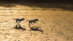 morning run (soundmoods) Tags: dogs running bali sand beach canon6d 85mm18 morning speed shadows sunlight contrast