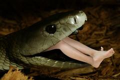 Feeder1 copy (tallteeth711) Tags: vore feet fetish legs damsel vorevids shoop snake fishvore toes nylons stockings