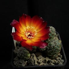 Sulcorebutia caniguerallii PHA260 '116' (Pequenos Electrodomésticos) Tags: cactus cacto flower flor sulcorebutia sulcorebutiacanigueralliipha260