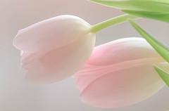 Pink tulips (pasquale di marzo) Tags: rosa tulipani interno d500 nikon