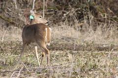 IMG_3073 Columbian white-tailed deer (Jon. D. Anderson) Tags: ridgefieldnwr deer whitetaileddeer columbianwhitetaileddeer odocoileusvirginianus odocoileusvirginianusleucurus endangeredspecies eartag threatenedspecies