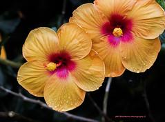 Chinese Hibiscus (rumerbob) Tags: hibiscus hibiscusorange flower floral flowergarden fauna botany botanicalgardens botanical nature naturewatcher macro macroflower macrophotography longwoodgardens canon7dmarkii canon100mmmacrolens