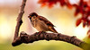 The American Sparrow. ©® (Aglez the city guy ☺) Tags: birds exploration experiment outdoors colors miamifl walkingaround
