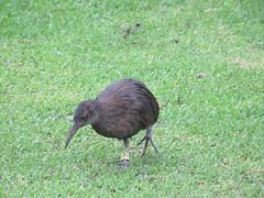 Lord Howe Woodhen (jdf_92) Tags: australia lordhoweisland bird woodhen gallirallussylvestris lordhowe island endemic lordhowewoodhen unesco