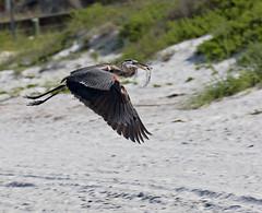 Indian Rocks Beach (BruceLorenz) Tags: water gulf gulfofmexico birds shore indian rocks beach florida great blue heron inflight flight catfish fishing