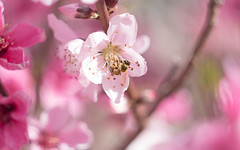 Spring! (chris dreher) Tags: animal wildlife insect flower bee pollen pink spring tree honey