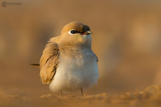 Small pratincole at dusk