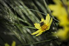 Chinche sobre amarillo (seguicollar) Tags: flower plantas flor vegetación insecto chinche