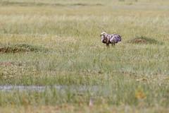 Eagle with fish (nrantala) Tags: eagle hide swamp kuhmo